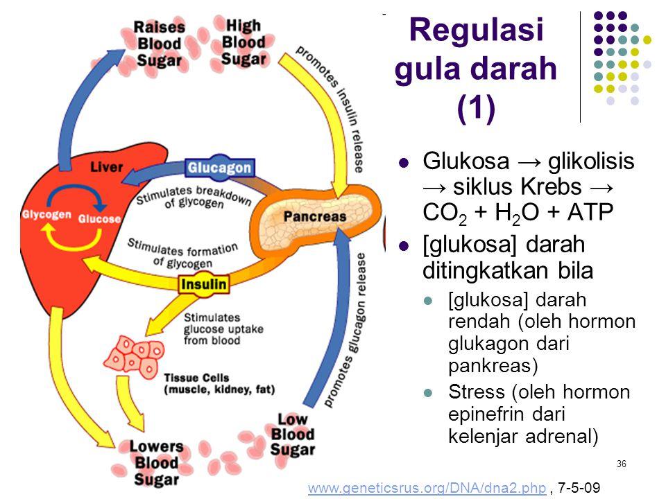 Regulasi gula darah (1) Glukosa → glikolisis → siklus Krebs → CO2 + H2O + ATP. [glukosa] darah ditingkatkan bila.